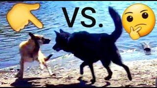 Malinois VS. HUGE Blue Bay Shepherd  Off Leash Mayhem