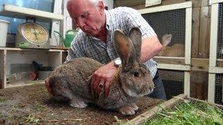 У кроликовода селекционера в Голландии(В хозяйстве заводчика кроликов, который посвятил кролиководству 60 лет. За эти годы добился немалых успехов...., 2013-07-21T12:32:57.000Z)