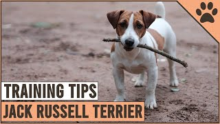 How To Train A Jack Russell Terrier | Dog World