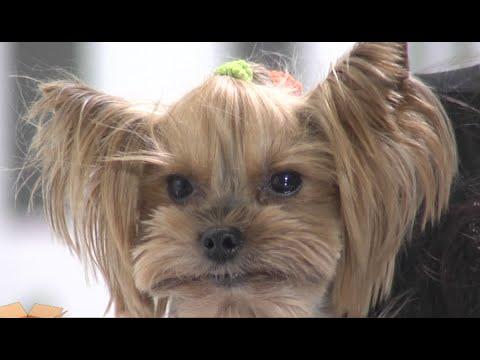 Test.tv: Все для животных. Как ухаживать за йоркширскими терьерами.