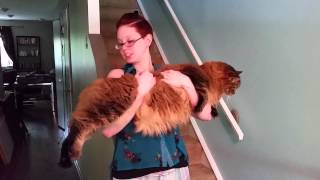 Maine Coon Cat Held Up For Size 3