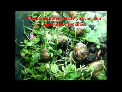 Como criar caracoles en casa raise snails helicicultura for Como criar peces ornamentales en casa