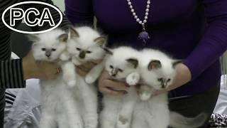 Бирманские котята. Питомник БЕЛЫЕ ЛАПКИ