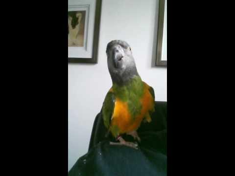 Talkative Senegal Parrot