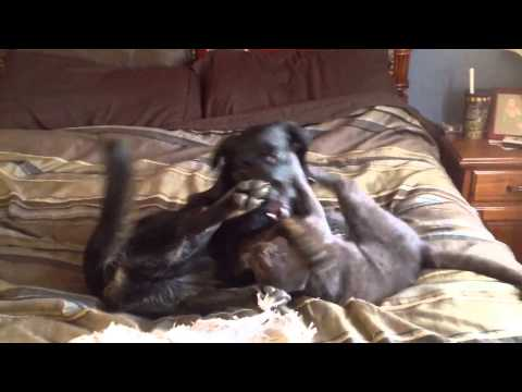 Cat Pushes Dog Off Bed
