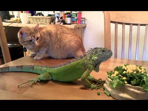 Mister Wu the Iguana & Chilly the cat have breakfast