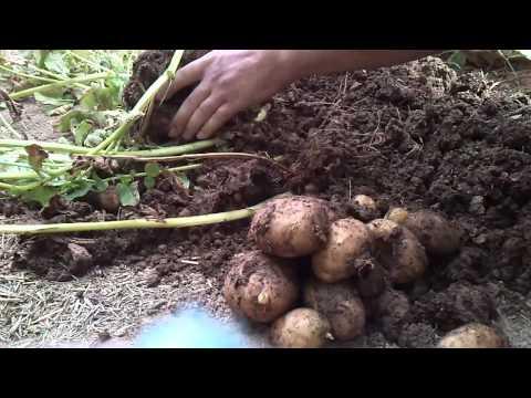 Çuvalda Patates Yetiştirme