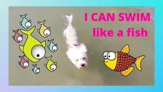 Maltese Dog Can Swim