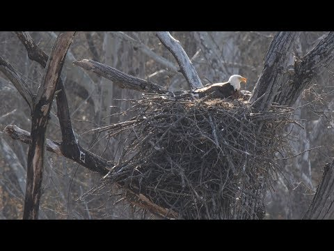 Bald Eagles' Path To Recovery