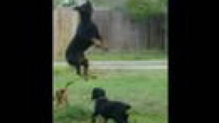 Rottweiler Vs Pitbull In Jumping Contest