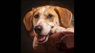 American Foxhound Dog, Information and facts on dogs - their breeds...