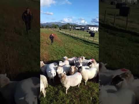 D edwards sheepdogs spot 11 months
