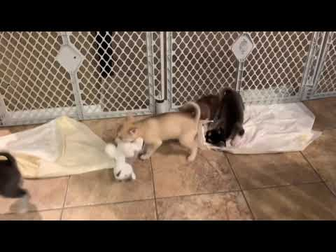 Adorable Alaskan Klee Kai Puppies also known as miniature husky.  We have puppies for sale.