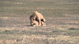 Lions mating at Ngorongoro Conservation Area