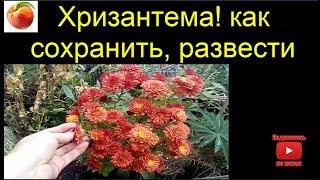 Хризантемы сохраняем черенкуем размножаем  Xrizantemmanin  to save hrizantemy