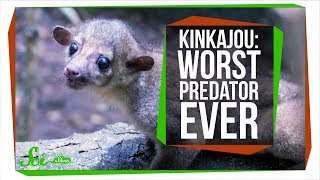 Meet the World's Worst Carnivore, the Kinkajou