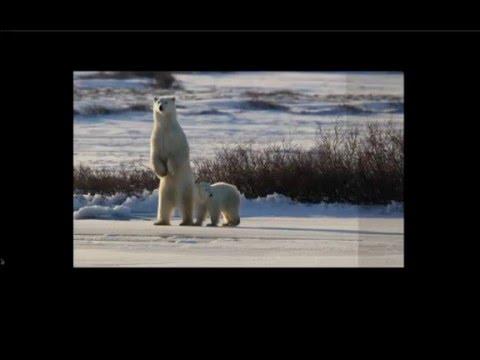 WEBINAR | Photographing the World of Polar Bears