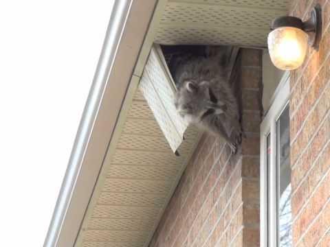 Raccoon Displays Climbing Skills Youtube