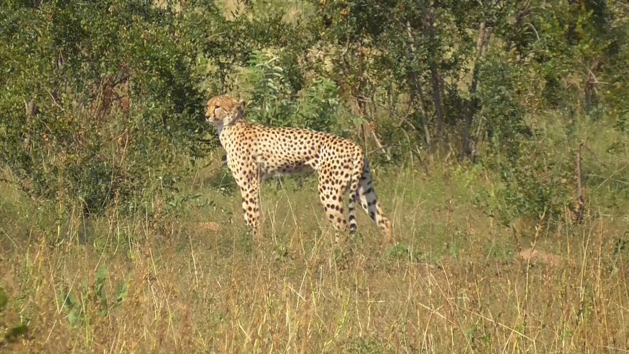 South Africa Cheetahs Kruger National Park Youtube
