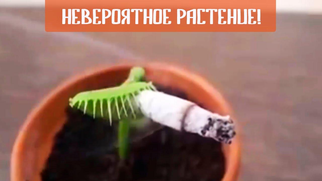 растение Дионея Мухоловка - цветок хищник (Семена Венериной .