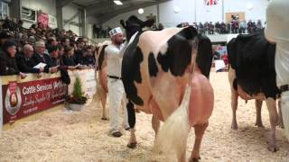 UK Dairy Expo 2016.Mature Holstein Class. thumbnail