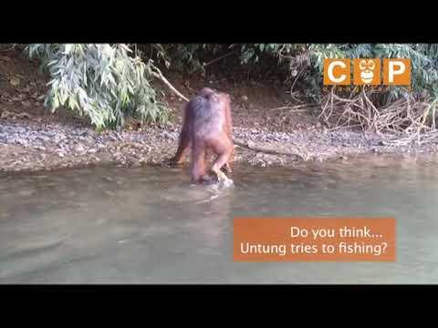 UNTUNG, ORANGUTAN FISHING?