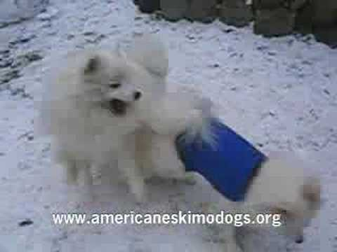 American Eskimo Dogs Playing