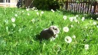 Rabbit Eating Dead Dandelion Part 2