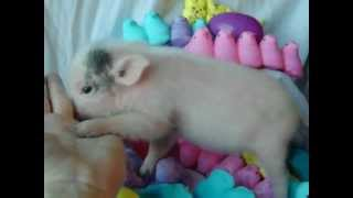 Zoey a micro nano piglet taking Easter pics and rooting on my arm