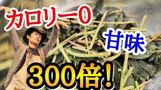 【天然ライザップ】園芸店長がダイエット食材ステビアの無限栽培とシロップづくりを教えます。運動しなくても痩せる??魔法のハーブです japan garden herb sweet sugar  leaf
