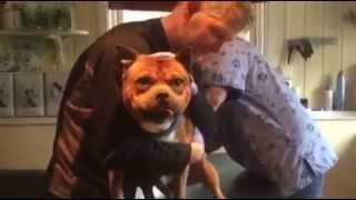 Staffordshire Bull Terrier Hates Getting His Shots