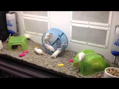 Petco Rats Petco mice - Yo...