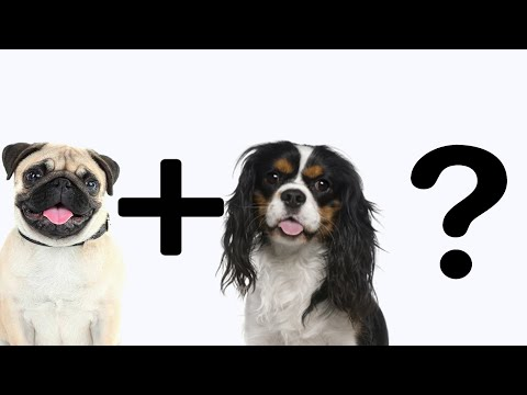PUGALIER - MIX dog breed | When PUG & CAVALIER KING CHARLES SPANIEL breed together