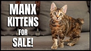 Manx Cat for Sale!