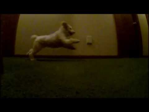 Lady the poodle slow motion