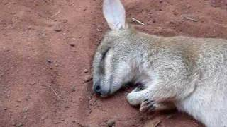 Wallaby During REM