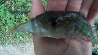 Ловля окуня на живца.Ловля окуня в конце лета возле коряг.perch fishing on live bait