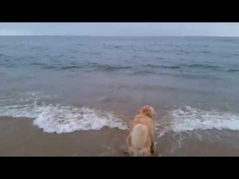 Dog Watching Wild Dolphins Swimming By Newport Beach - Orange County, CA