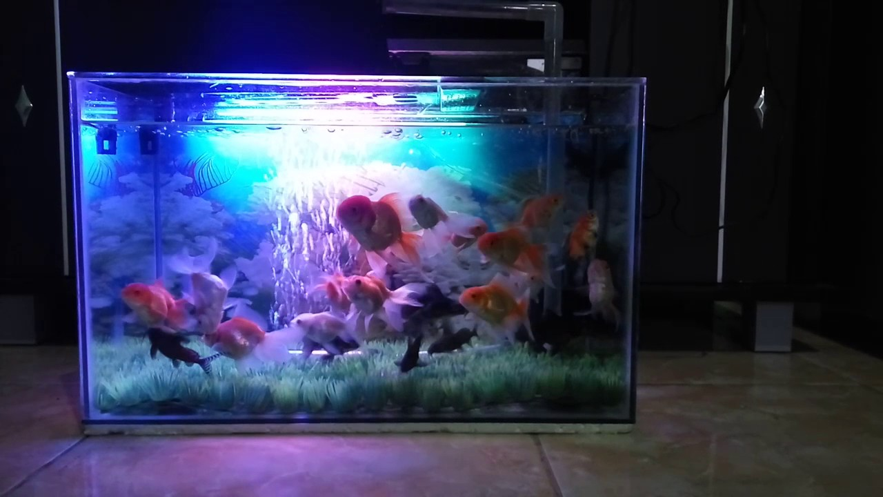 85 Koleksi Ide Desain Aquarium Ikan Koki HD Terbaru Unduh Gratis