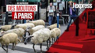 Paris : la transhumance urbaine a commencé