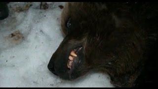 Охота на медведя в Якутии . 2018