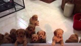 Joystar Apricot Miniature Poodle Puppies