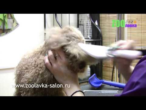 Видео курс по стрижке пуделя - Форум: Русские за Границей