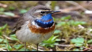 Птица с синей грудкой варакушка. Кто покрасил?