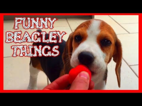 Funny 'Beagley' Things! Why You Should Get A Beagle Dog. Episode #5