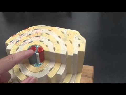 Osteon Model (Compact Bone)