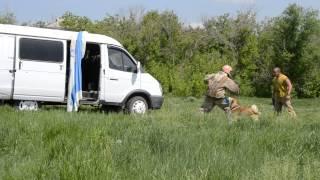 Собака телохранитель.  Западно-сибирская лайка Урмас
