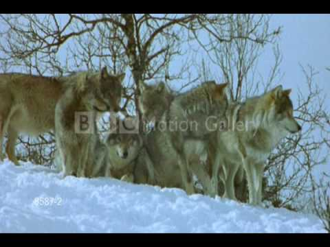 Marco Polo Wolves