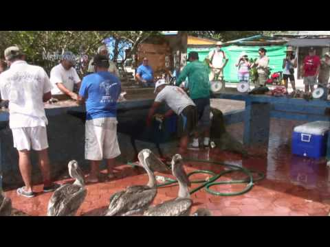 Santa Cruz Fish Market, Santa Cruz Island, Galapagos