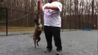 Pitbull Bite Grip Force